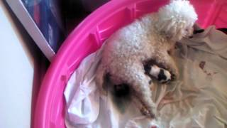 Rosie The Toy Poodle Giving Birth Part 2