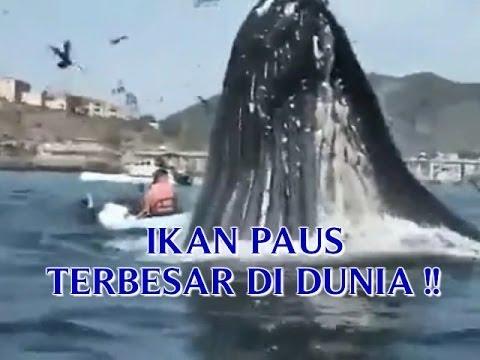 Video Ikan Paus Terbesar Di Dunia Hampir Makan Orang Saat Ikan Paus Menggamuk Di Pantai Youtube