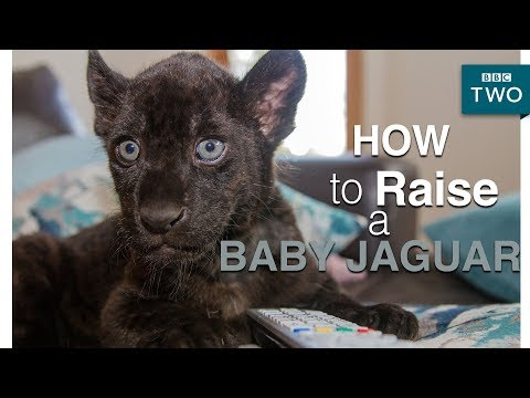 How to raise a baby jaguar - Big Cats about the house - BBC Two