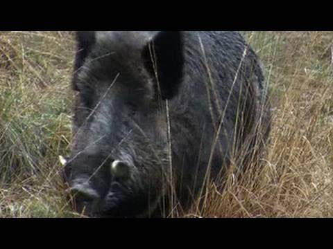 Hunting British wild boar