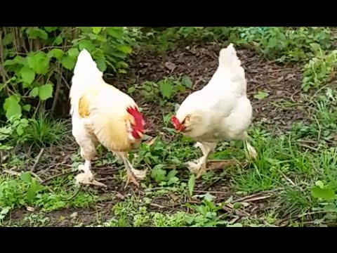 Most Gentle Rooster Calls Hens To Share Food - Cute Animals From Vilage