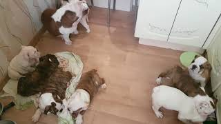 Продаются щенки Английского бульдога. Мама играет с щенками