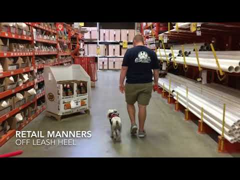 "4 Year Old Miniature Schnauzer ""Meadow"" 