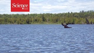 Snippet: Moose eating underwater