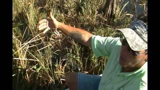 REPTILIAN Encounter- Live Alligators in the Wild- Florida Everglades 2/6/14