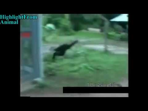 Monkey playing with cat and dog compilation. Very funny