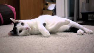Japanese Bobtail kitty is rolling on the floor
