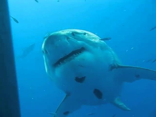 The Search for Monster Great White Sharks - Dr Abalone