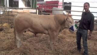 Hamiton (Flash x Elite), taureau proposé à la vente