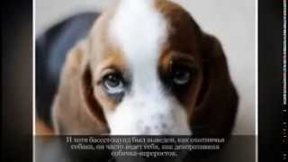 Средние породы собак БАССЕТ ХАУНД