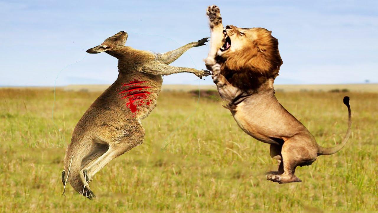 LION VS TIGER, GORILLA, HYENA, CROCODILE, ELEPHANT   LION ... Lion Vs Elephant