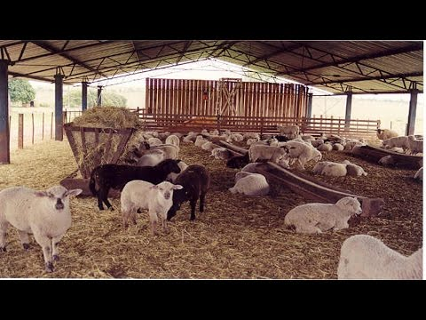 Ovinos - Confinamento de ovinos