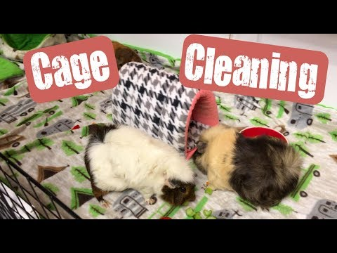 Students Cleaning Cages - Feb 2019 | 6 Classroom Guinea Pigs