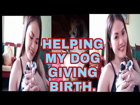 VLOG#36  HELPING MY SHIH TZU GIVING BIRTH TO 3 CUTE PUPPIES