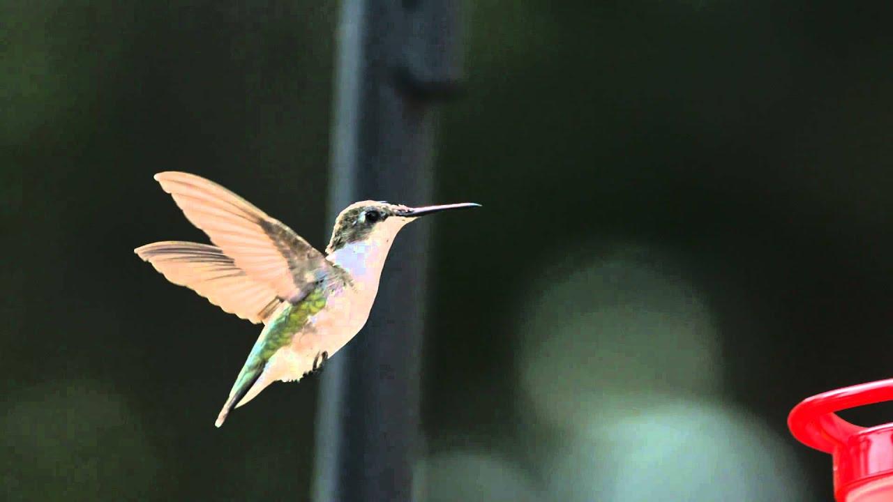 Slow Motion Hummingbird Hovering In Flight Near Bird -3206