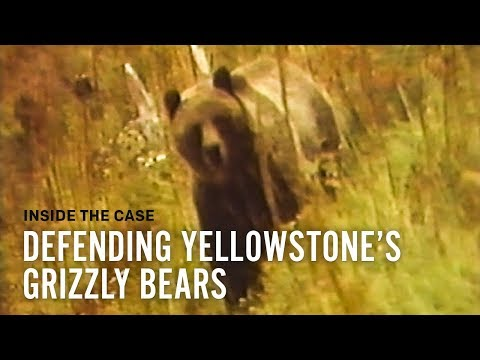 Defending Yellowstone's Grizzly Bears: Inside the Case