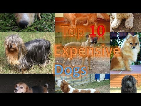 Top 10 Worlds Most Expensive Dog Breeds For 2017