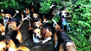Foxhounds cooling down
