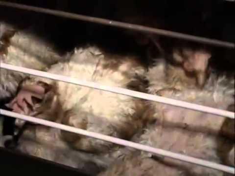 Как на мясокомбинате убивают животных видео