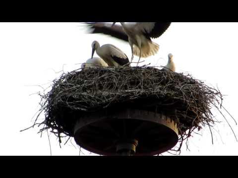 Storks, Zusamzell, Altenmunster, Bavaria, Germany, Europe