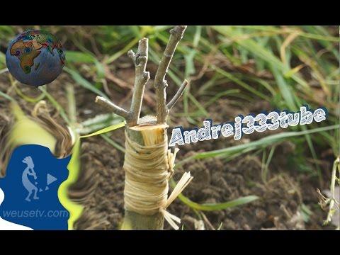 Food Forest - Innesto a spacco di un nespolo su biancospino selvatico