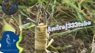 Food Forest - Innesto a spacco di un nespolo su biancospino selvatico - Tecniche di innesto frutta