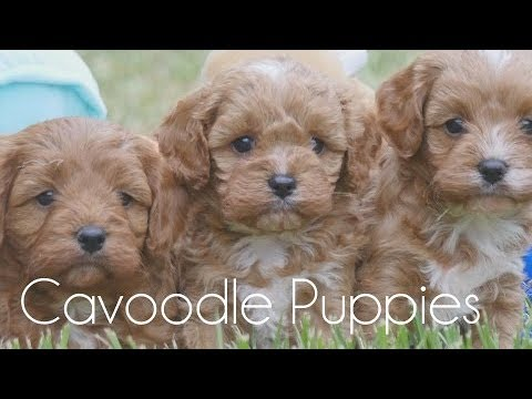Red Cavoodles!!!