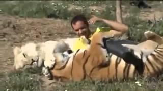 Лев и тигр - добрые кошки