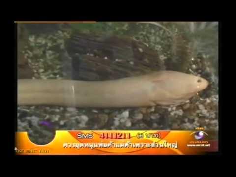 ปลาไหลเผือก