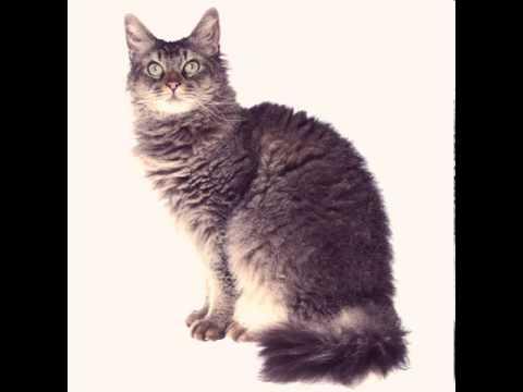 laperm kittens breeders