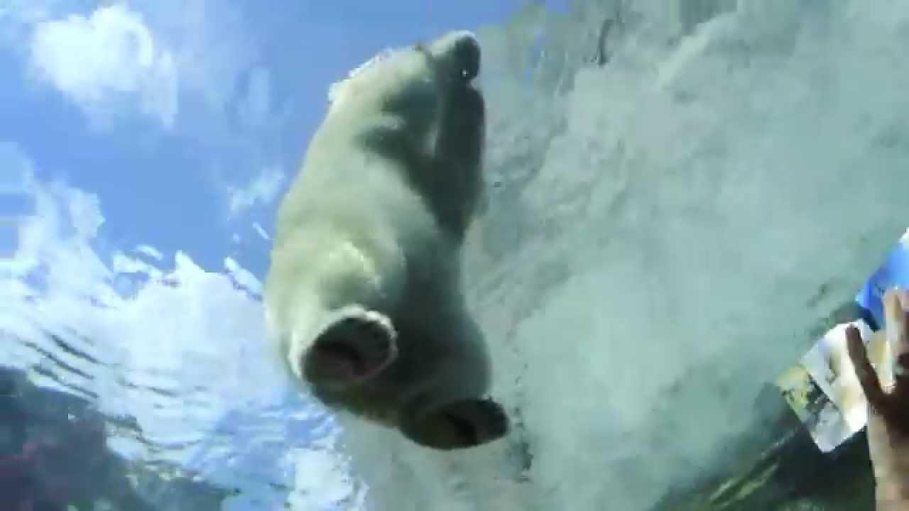 Polar Bear Swimming Assiniboine Park Zoo Winnipeg