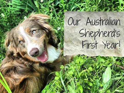 Our Australian Shepherd's First Year!