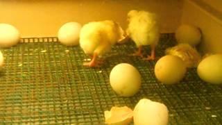 Wylęgarnia jajek w Zoo w Belgi w  Antwerpi