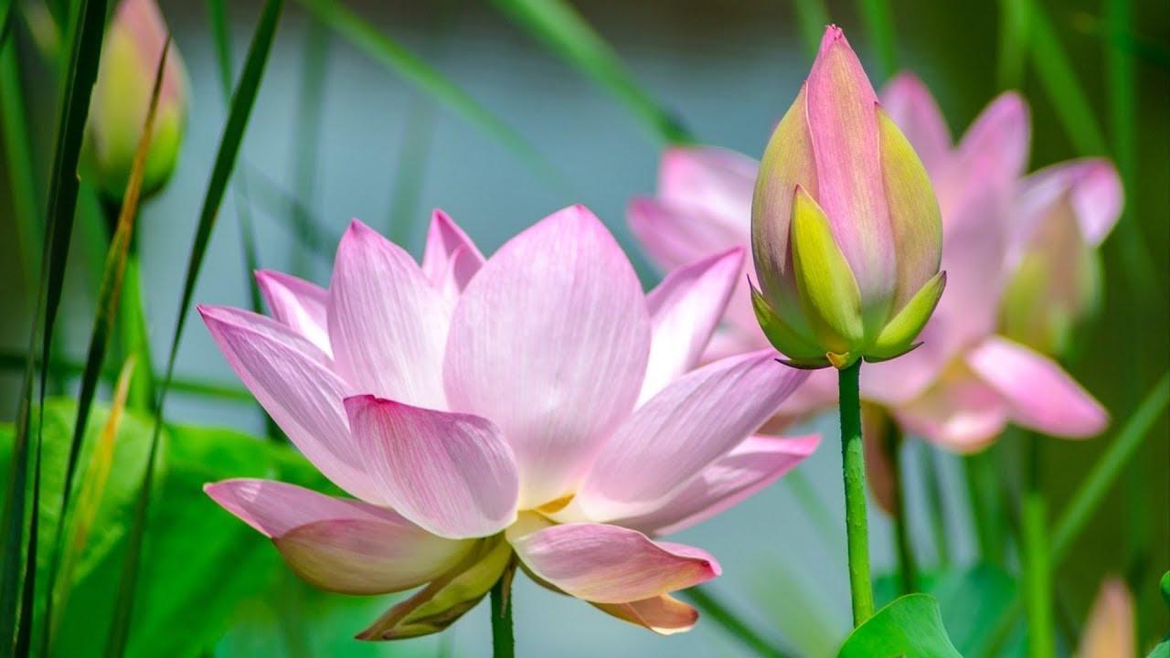 Beautiful lotus flowers youtube beautiful lotus flowers izmirmasajfo