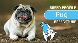 Pug Breed, Temperament & Training