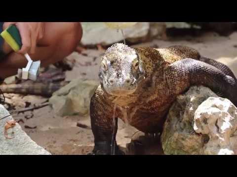 Sponge Bath for Raja the Komodo Dragon