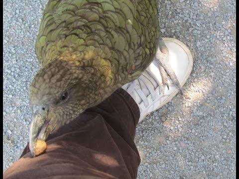 parrot kea asks crack a nut, умный попугай