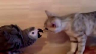 American Shorthair Kitten Vs African Grey Parrot, Round 1
