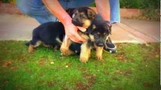 Wustenberger Land German Shepherd Male Puppies For Sale