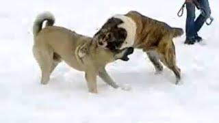カンガル語(カンガル語)は、シヴァス州のトルコ出身の大型家畜犬の品...