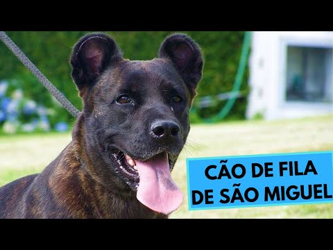 Cão de Fila de São Miguel - Saint Miguel Cattle Dog - Facts and Information
