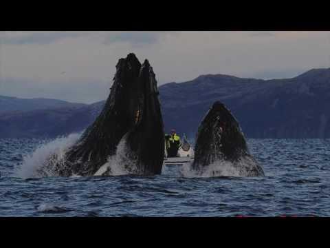 Оператор заснял, как его чуть не проглотил кит