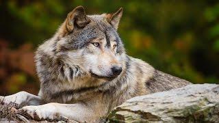 Волки.Все о животных.