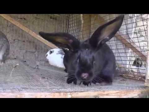 Разведение кроликов породы Бабочка.