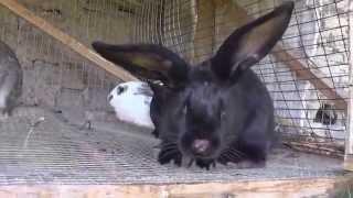 Миксоматоз кроликов:  симптомы,  причины заболеваний(Миксоматоз у кроликов это остропротекающая, инфекционная и вирусная болезнь , который почти не лечиться., 2015-07-11T13:27:35.000Z)