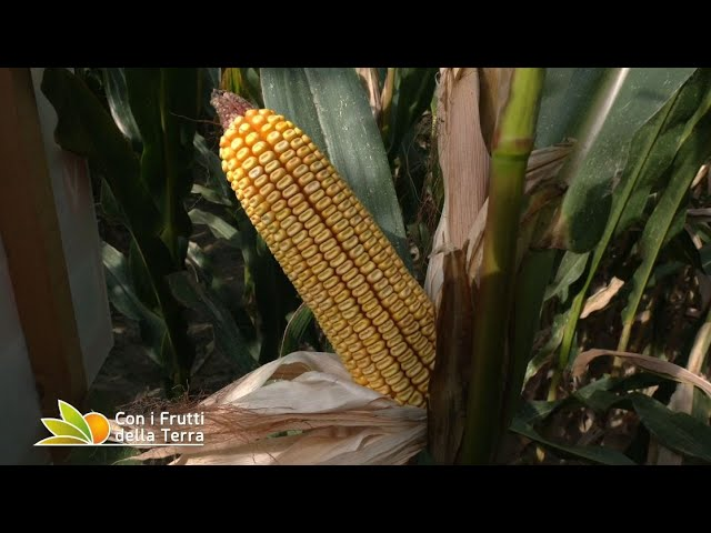 Puntata del 12/9/21 –  1° parte – Luci e ombre sulla campagna del mais