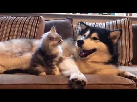 Siberian Husky and cute kitten play fighting