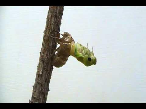 Download Cicada Molting