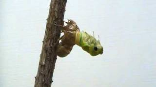 Video Cicada Molting download MP3, 3GP, MP4, WEBM, AVI, FLV November 2017