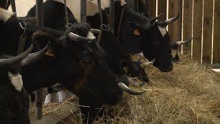 Découverte : la plus petite exploitation laitière de France